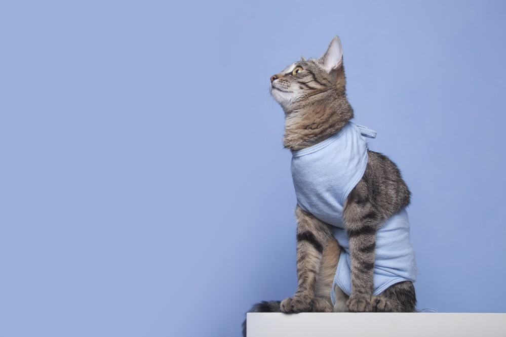 кошка в папоне после стерилизации