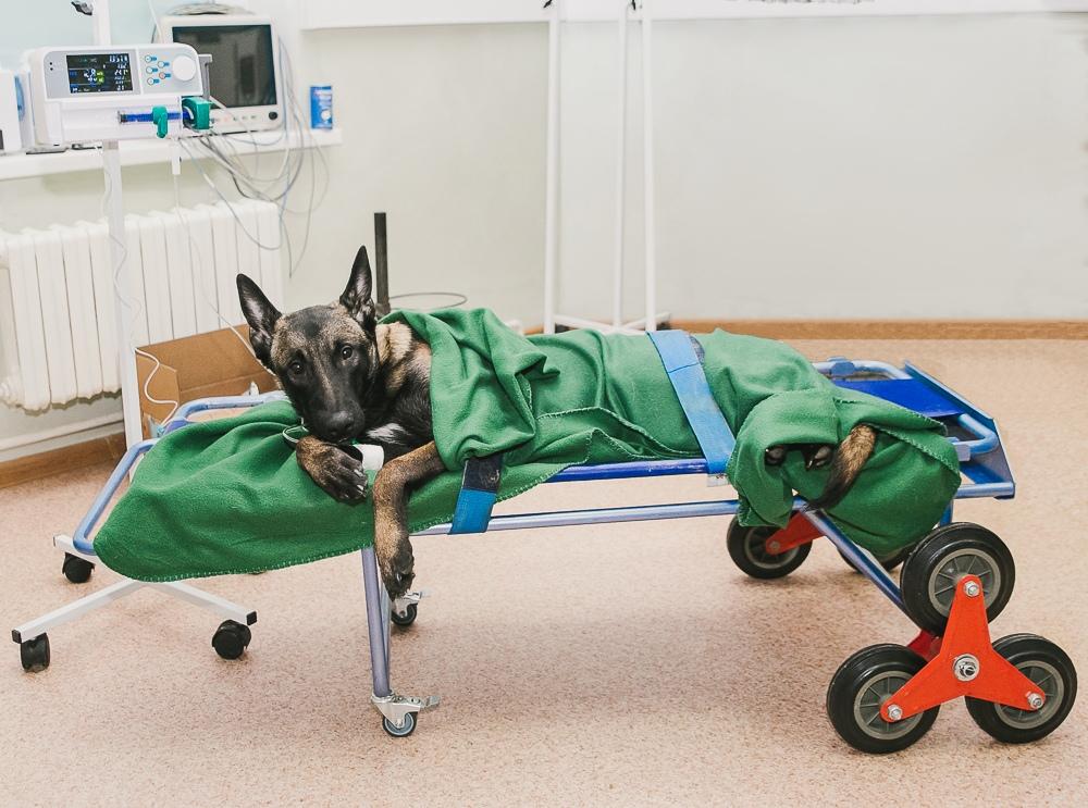 Овчарка в стационаре Ветеринарного центра доктора Базылевского А.А. после операции