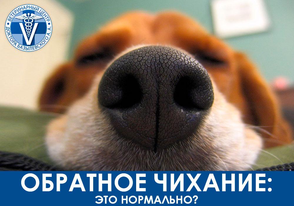 Обратное чихание у собак и кошек